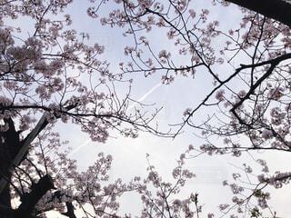 桜と飛行機雲の写真・画像素材[4377014]