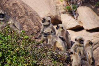 野生のハヌマンラングールの写真・画像素材[4381161]