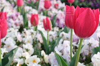 花,春,ピンク,緑,赤,白,景色,チューリップ,草木