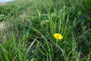 花,屋外,緑,黄色,草,たんぽぽ,草木,フローラ,広葉