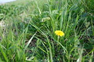 花,屋外,緑,景色,草,新緑,たんぽぽ,草木,フローラ,広葉