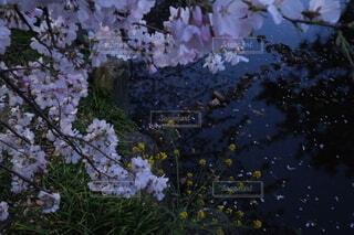 花,桜,屋外,水,川,水辺,池,景色,光,草木,ブルーム,ブロッサム,フローラ