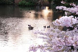 自然,桜,動物,鳥,屋外,湖,水,川,水面,水辺,池,景色,光,樹木,鴨,草木,ブルーム