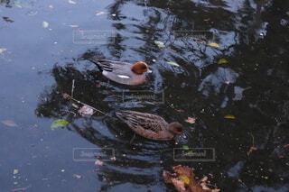 桜の木の下を泳ぐカモの写真・画像素材[4351000]
