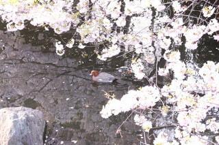 花,桜,動物,鳥,水,川,池,光,岩,石,カモ,草木,さくら,ブロッサム