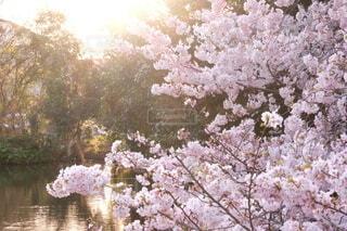 花,春,桜,屋外,水,川,水辺,池,光,樹木,草木,桜の花,さくら,ブルーム,ブロッサム