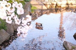 空,公園,花,春,桜,鳥,屋外,湖,水,川,水面,池,光,石,カモ,草木,さくら,ブロッサム