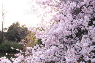 花,屋外,樹木,草木,さくら,ブロッサム