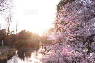 自然,空,公園,花,春,桜,屋外,光,樹木,草木,さくら,ブロッサム