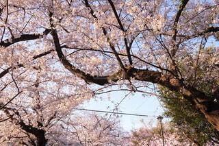 空,花,屋外,樹木,草木,さくら,ブロッサム