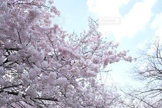 花,春,屋外,樹木,草木,さくら,ブロッサム