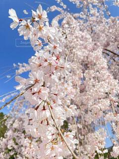 花,春,屋外,樹木,草木,桜の花,さくら
