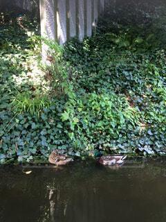 新緑の季節に公園の池を泳ぐ鴨のつがいの写真・画像素材[4414046]