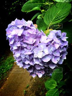 雨,あじさい,ハート,紫陽花,梅雨,6月