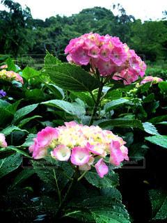 あじさい,紫陽花,雨上がり,梅雨