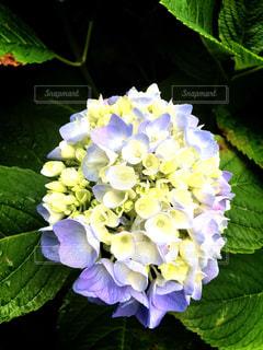 雨,あじさい,紫陽花,梅雨,6月,むらさき