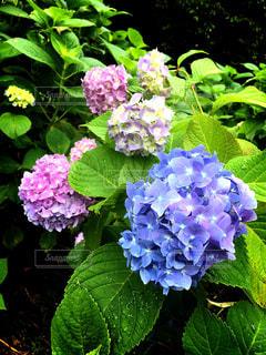雨,ピンク,あじさい,紫陽花,梅雨,6月,むらさき