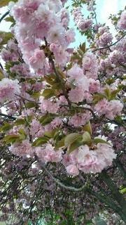 花,春,樹木,草木,桜の花,さくら,ブルーム,ブロッサム,フローラ