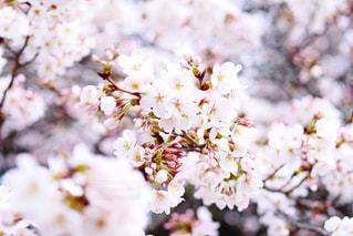 花,春,桜,ピンク,綺麗,TOKYO,樹木,新宿,japan,新宿御苑,草木,さくら,桜前線