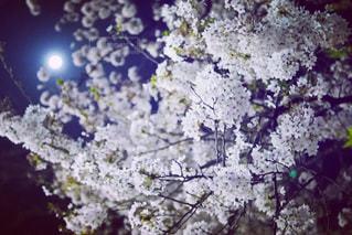 花,春,桜,東京,ピンク,綺麗,TOKYO,光,樹木,月,ライトアップ,満月,新宿,japan,ブルームーン,草木,さくら,桜前線,月と桜