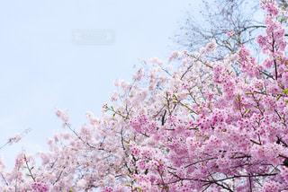 ピンクの花の木の写真・画像素材[1122036]