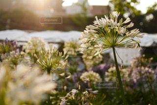花,綺麗,TOKYO,夕方,光,六本木,japan,草木,リコリス,夏日