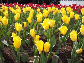 自然,風景,公園,花,春,花畑,フラワー,黄色,チューリップ,花園,草木