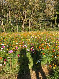 自然,公園,花,花畑,屋外,コスモス,フラワー,草,樹木,ピクニック,秋桜,デート,草木,ガーデン