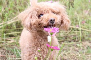 犬,公園,動物,かわいい,コスモス,散歩,草,ペット,プードル,トイプードル