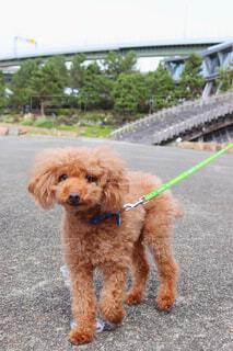 犬,公園,動物,散歩,草,ペット,プードル,トイプードル