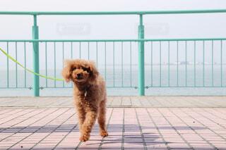 犬,公園,動物,コスモス,散歩,草,ペット,プードル,トイプードル