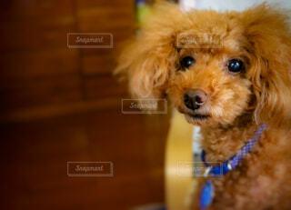 犬,動物,散歩,茶色,ペット,癒し,プードル,トイプードル,室内犬,ラブラドゥードル