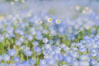 自然,花,春,お花畑,カラフル,パステル,ネモフィラ,ふんわり,草木,広葉