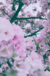 花,春,ピンク,ライラック,草木,桜の花,ブロッサム