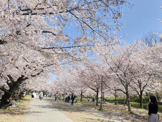 花,春,屋外,樹木,草木,桜の花,さくら,ブロッサム