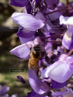 花,春,動物,紫,日差し,ラベンダー,藤,蜂,ミツバチ,陽射し,ハチ,草木,蜜蜂,蜜,働き蜂,働きバチ
