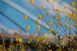 花,春,橋,青空,菜の花畑,一眼,Nikon,草木