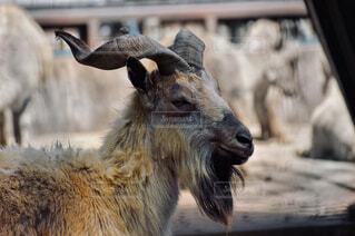 動物,屋外,鹿,ヤギ,カモシカ,ホーン,野生ヤギ,又角