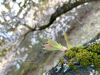 花,桜,木,屋外,緑,葉,樹木,苔,芽,新芽