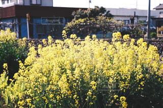花,屋外,黄色,菜の花,田舎