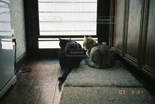 猫,動物,屋内,兄妹,おうち猫
