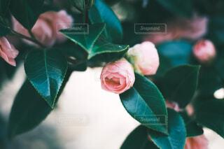 花,ピンク,蕾
