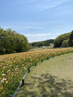 花畑,景色,ポピー畑