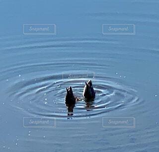 鴨の朝食の写真・画像素材[4369894]