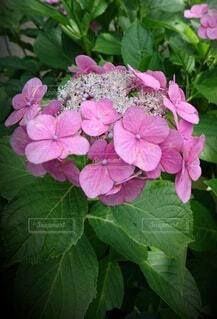 ピンクの紫陽花の写真・画像素材[4359234]
