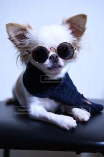カメラを見て、小さな茶色と白犬の写真・画像素材[1196738]
