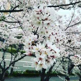 花,春,屋外,樹木,コロナ,草木,桜の花,さくら,ブロッサム,自粛