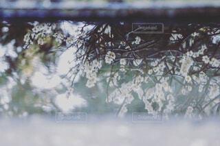 水面の梅の写真・画像素材[4390670]