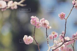 梅の写真・画像素材[4390669]