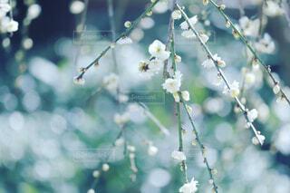 梅の写真・画像素材[4390671]